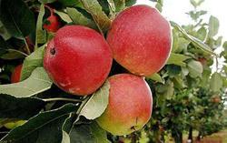 apel-sulit-layu