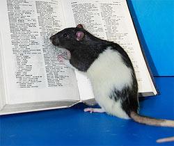 Ilmuwan Berhasil Membuat Tikus Terpintar Ilmutambah Blog